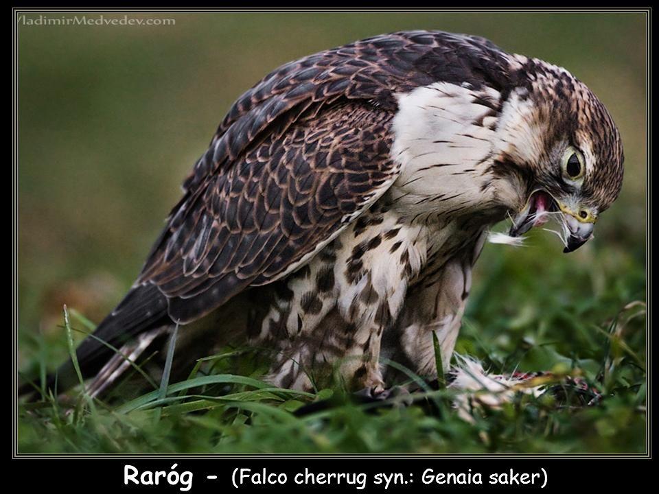 Raróg - (Falco cherrug syn.: Genaia saker)
