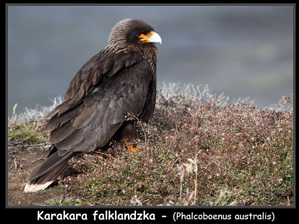 Karakara falklandzka - (Phalcoboenus australis)