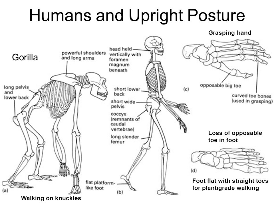 chapter 11 primates and human evolution
