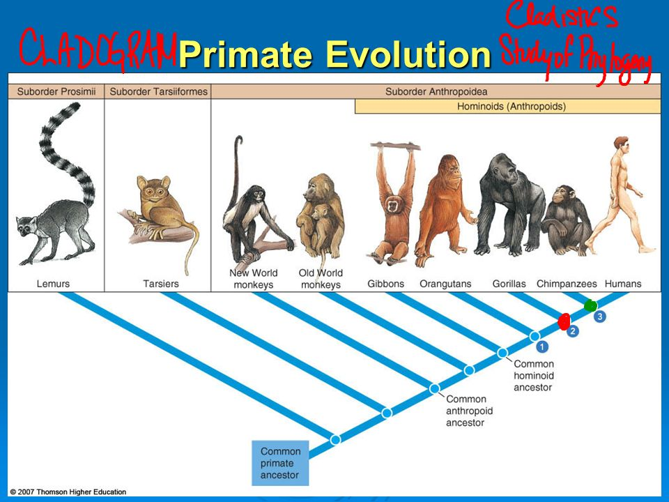 the evolution of primate intelligence essay The evolution of primate intelligence essay by dinoray, university, bachelor's, f, december 2002  download word file, 7 pages, 35 downloaded 223 times keywords evolution, complexity, hierarchy, manipulation, offspring 0 like 0 tweet one of the main reasons why we are so interested in the other primates is that by looking at them we can.
