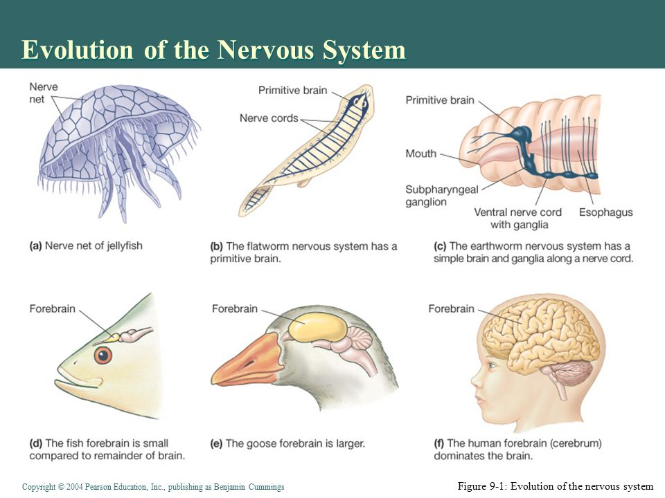 the nervous system develops Chapter 7 - nervous system the insidious and multifaceted development of many nervous system disorders requires persons working in the field of occupational health to adopt different but complementary approaches to the study since the nervous system is complex.