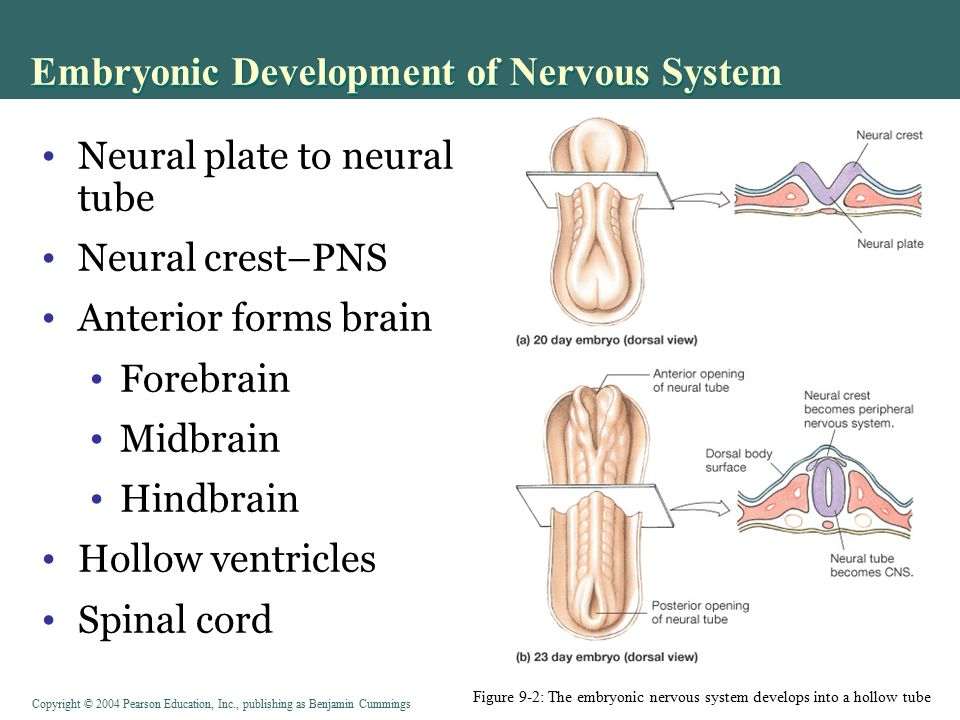 the nervous system develops Origin of the nervous system at day 16 after conception, the embryo consists of   to the primitive knot developed the nervous system developed from the neural .