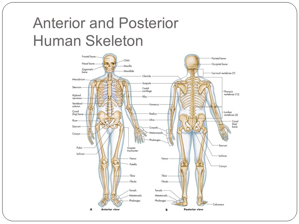The skeletal system lesson 1 ppt video online download anterior and posterior human skeleton ccuart Image collections