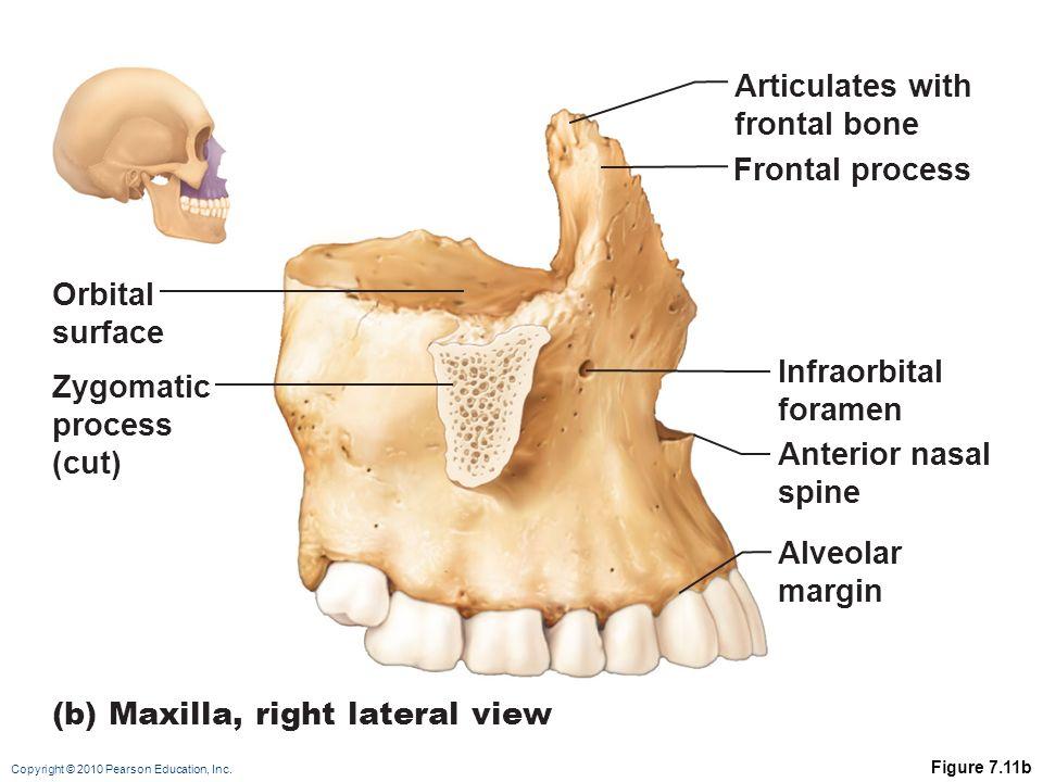 Zygomatic Bone Maxillary Process CHAPTER # 7(a) THE SKE...