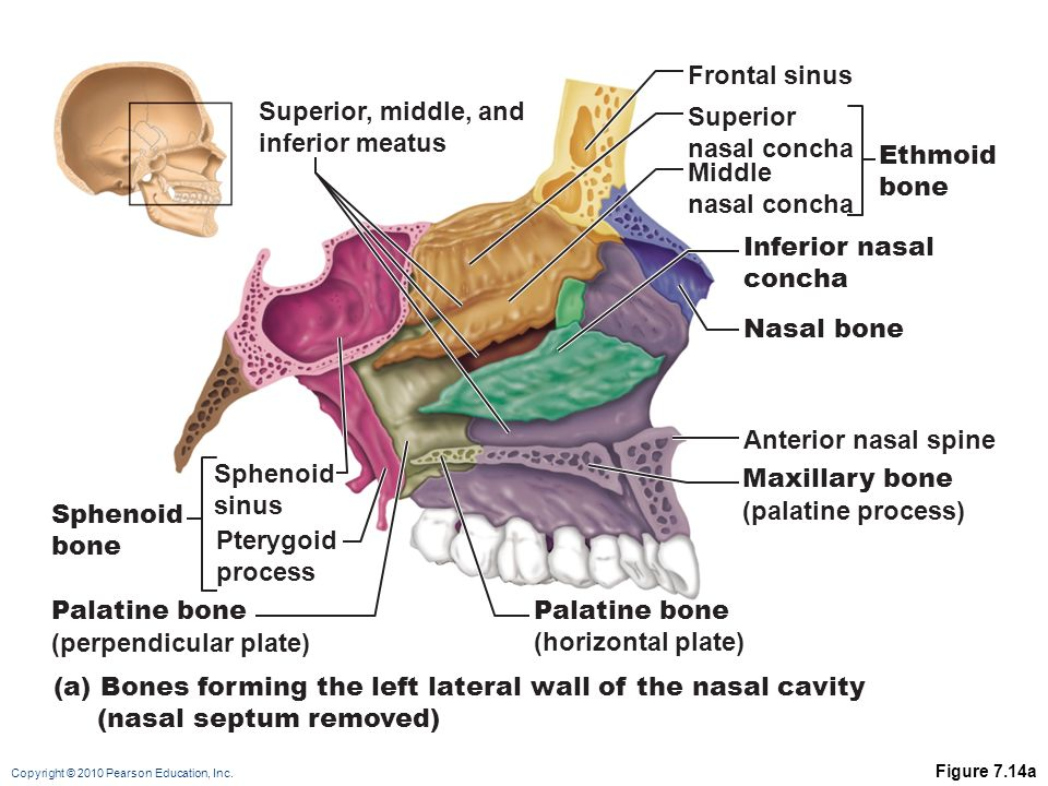 sphenoid bone nasal septum – citybeauty, Human body