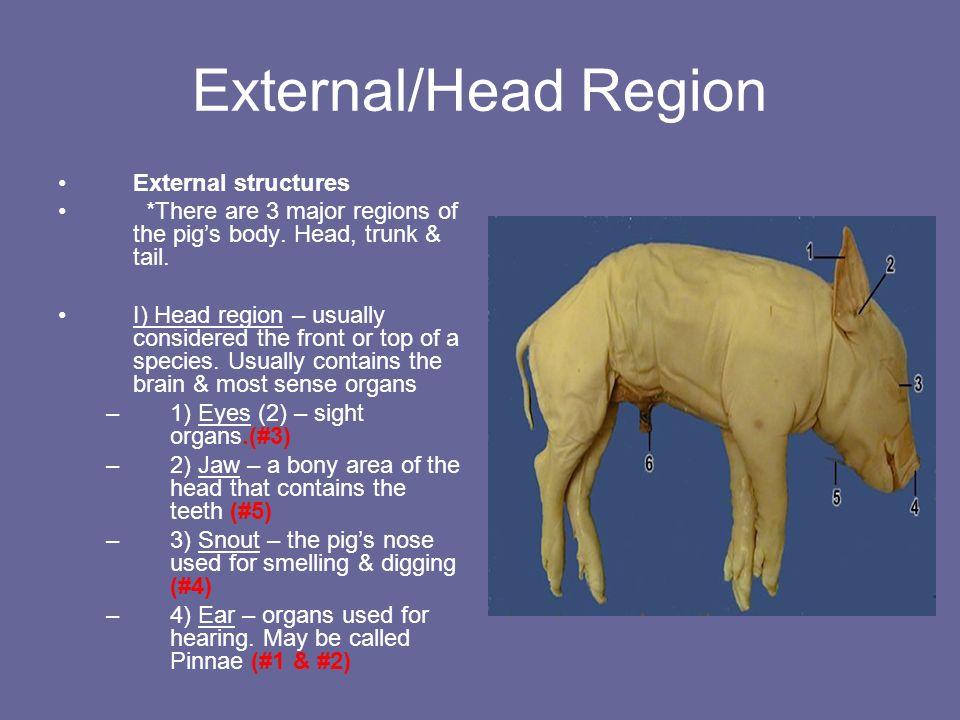 External anatomy of a pig