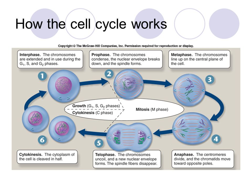 how the cell cycle operates Ty - jour t1 - dna damage bypass operates in the s and g2 phases of the cell cycle and exhibits differential mutagenicity au - diamant,noam au - hendel,ayal.