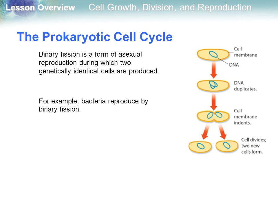 A form of asexual reproduction in bacteria is picture 72