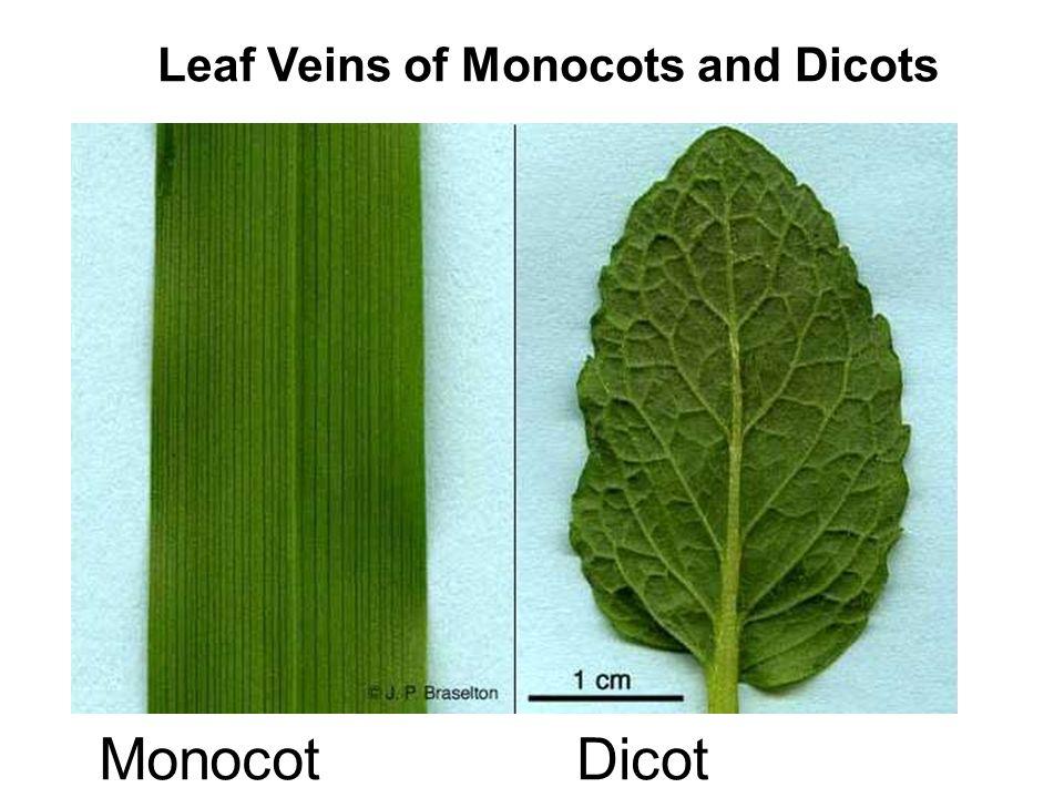 Eudicot examples