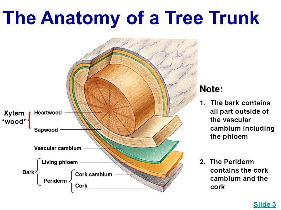 Anatomy of the trunk