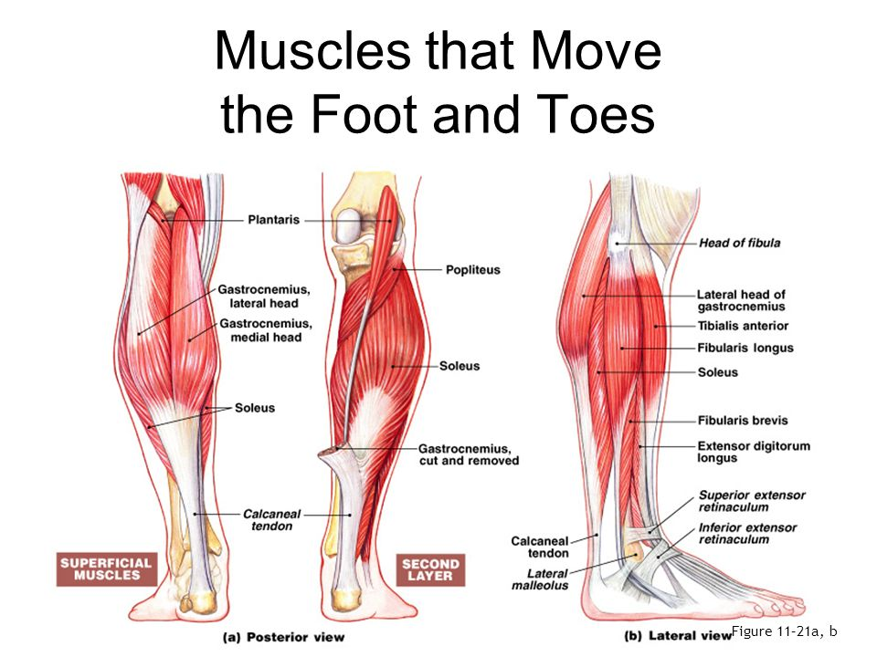 Ankle Anatomy Muscles 4168552 Follow4morefo