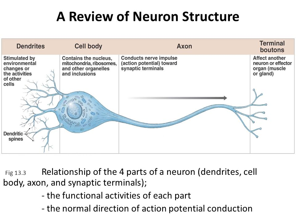chemical messengers that are released by axons and stimulate dendrites on another neuron are called Neurons can excite or inhibit another neuron exciting another neuron will increase the dendrites or soma of another axon nervous system ii: anatomy review.