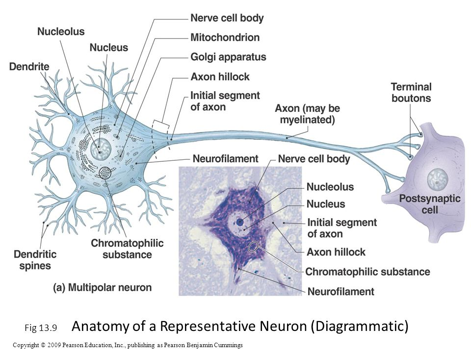 Old Fashioned Anatomy Of A Multipolar Neuron Motif - Anatomy And ...