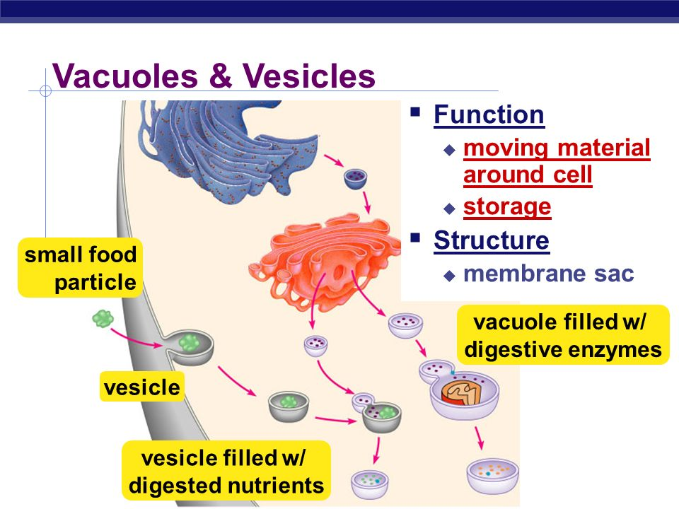 Vesicle animal cell function - photo#42