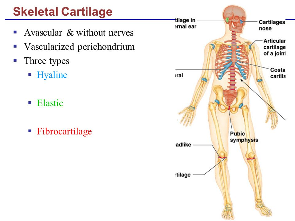 bones and skeletal tissues -all bones consist of 2 types of bone tissue 1 compact bone:solid,dens bone,makesup surfaces and shafts 2 spongy bone/ cancellous bone: meshy.