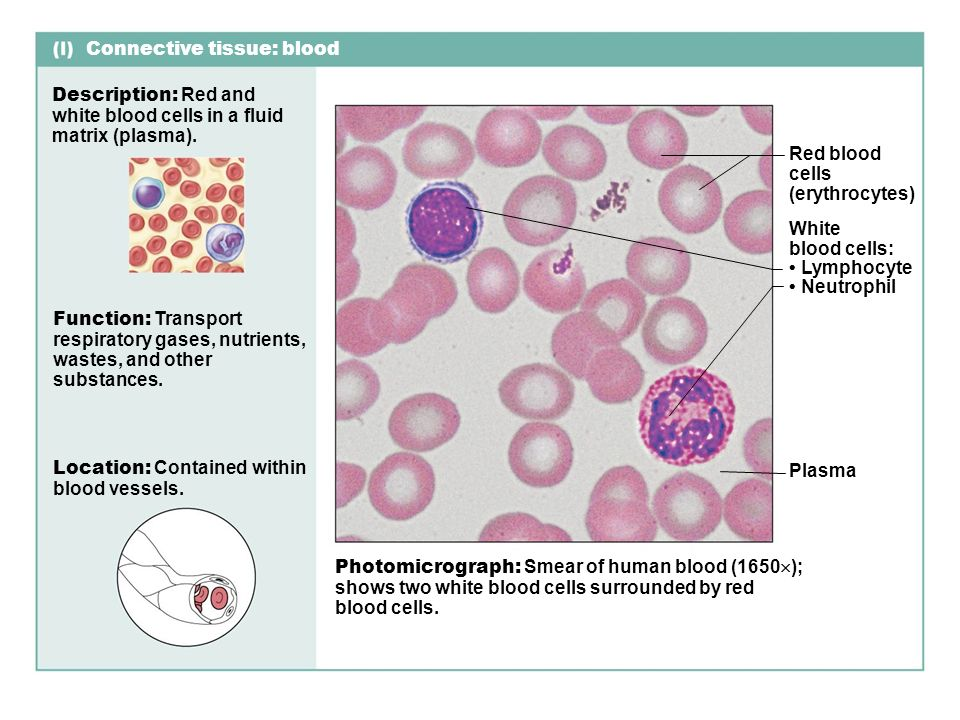 fluid connective tissue Connective tissue study guide connective tissue blood is traditionally classified as a specialized form of connective tissue, with no fibers, highly fluid.