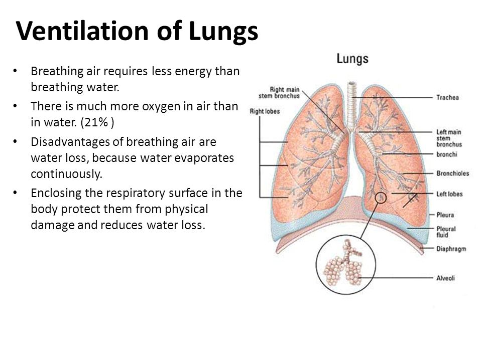 Lung Ventilation System : Exchanging gases with the environment ppt video online