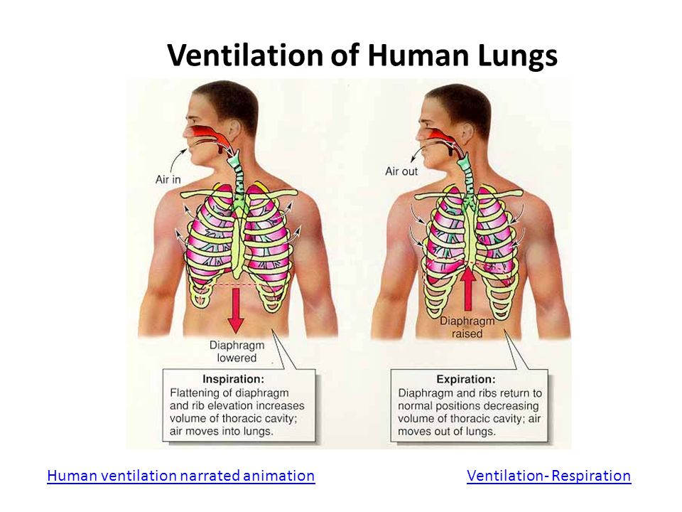 Human Ventilation System : Exchanging gases with the environment ppt video online