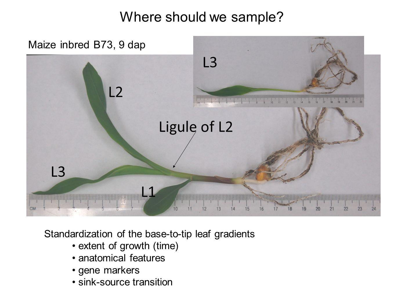 Anatomy of c3 and c4 plants