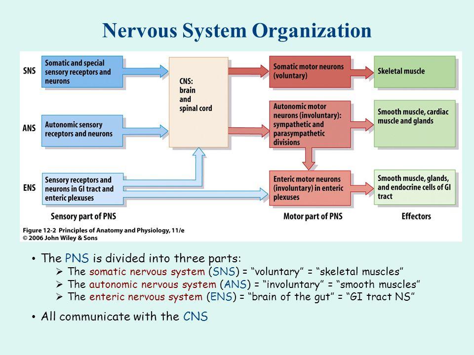 Nervous System Overview - ppt download