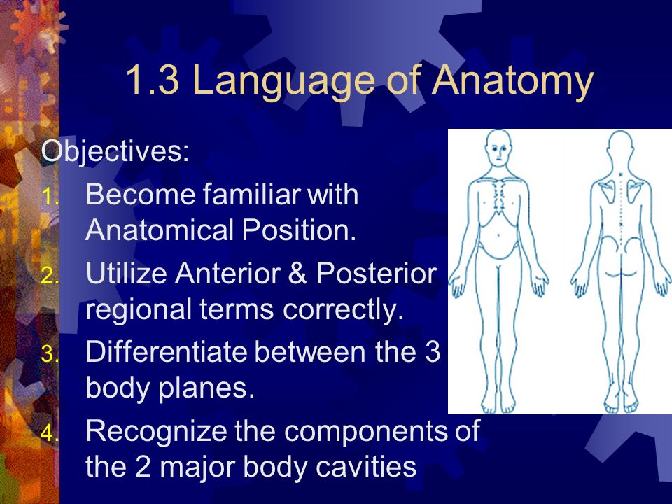 the major anatomical regions directions and The major anatomical regions, directions and cavities of the human body research paperthe major anatomical regions, directions and cavities of the human body many terms are used to describe the human body and its various positions when being observed, studied or referred to in any medical discussion.