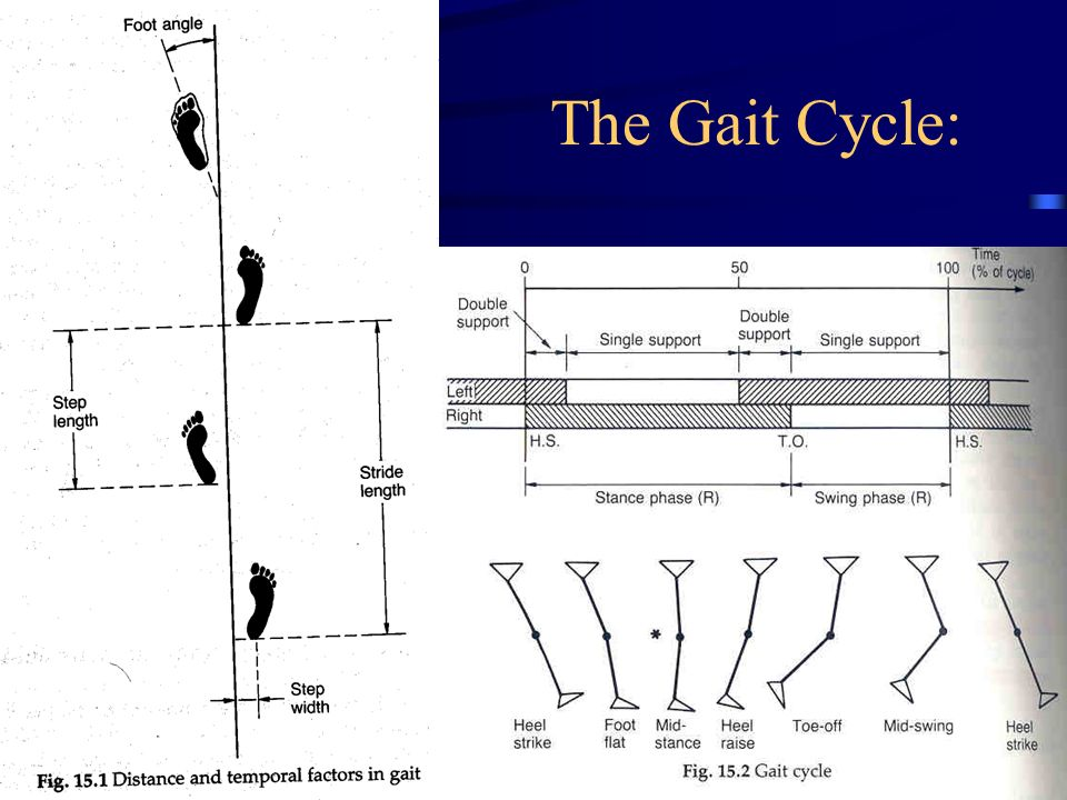 The gait cycle ppt video online download