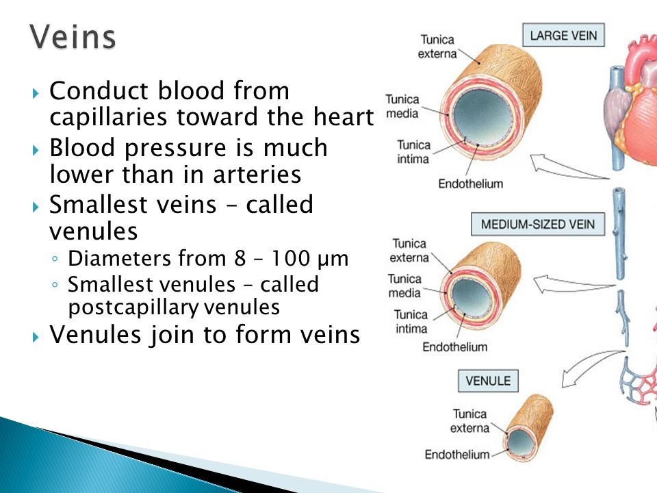 Veins Conduct blood from capillaries toward the heart