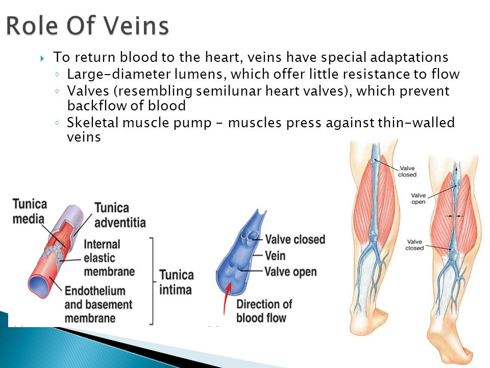 Role Of Veins To return blood to the heart, veins have special adaptations. Large-diameter lumens, which offer little resistance to flow.