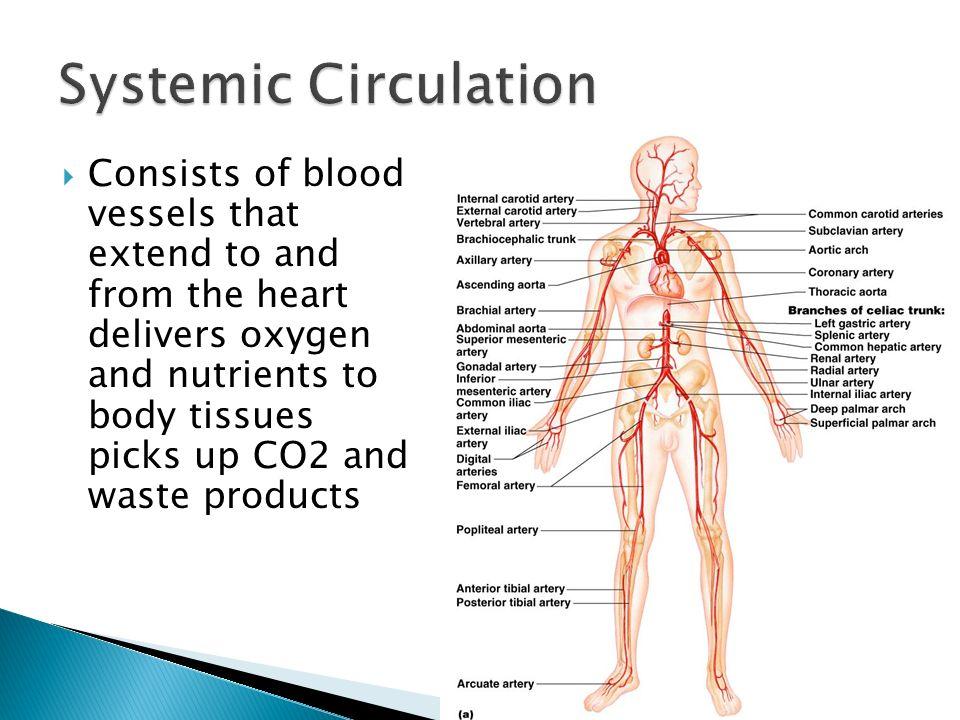 Systemic Circulation