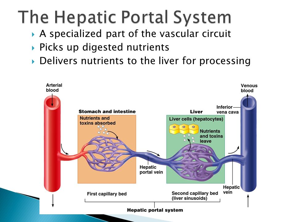 The Hepatic Portal System