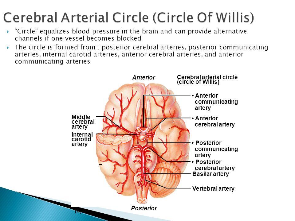 Cerebral Arterial Circle (Circle Of Willis)