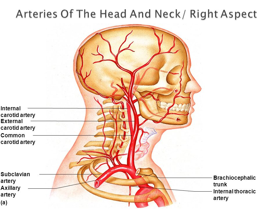 Arteries Of The Head And Neck/ Right Aspect