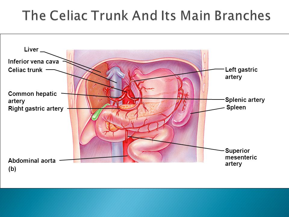 The Celiac Trunk And Its Main Branches