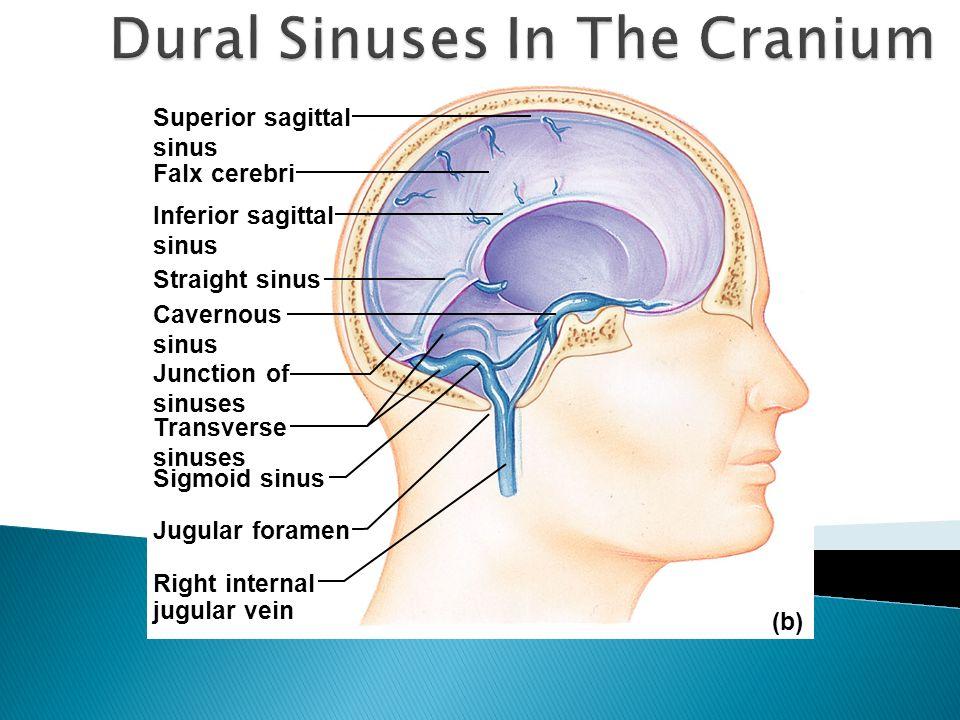 Dural Sinuses In The Cranium
