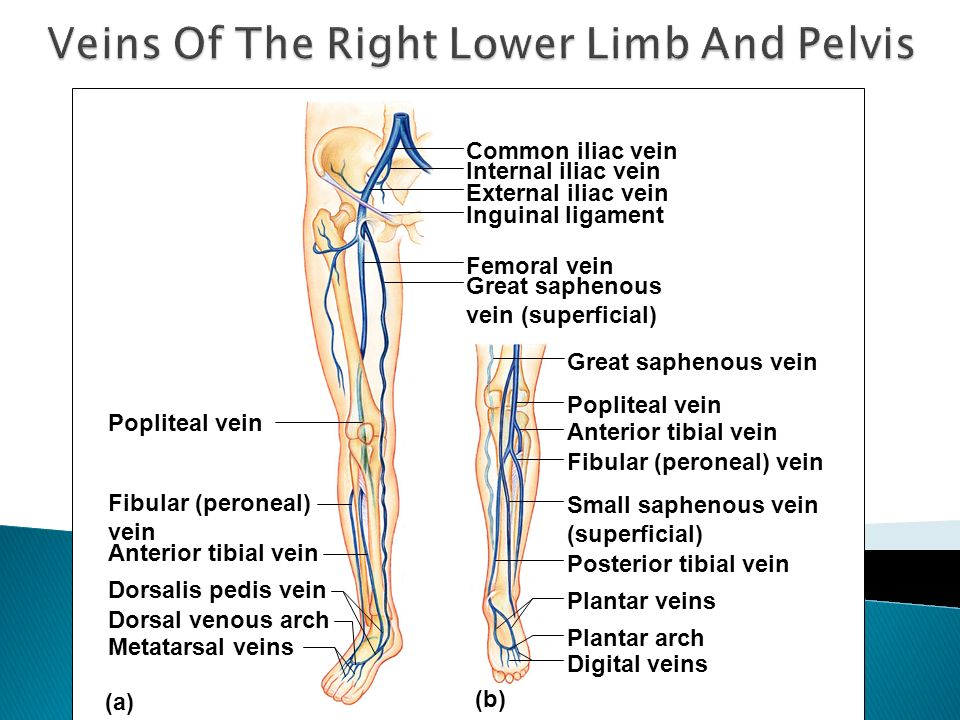 Veins Of The Right Lower Limb And Pelvis