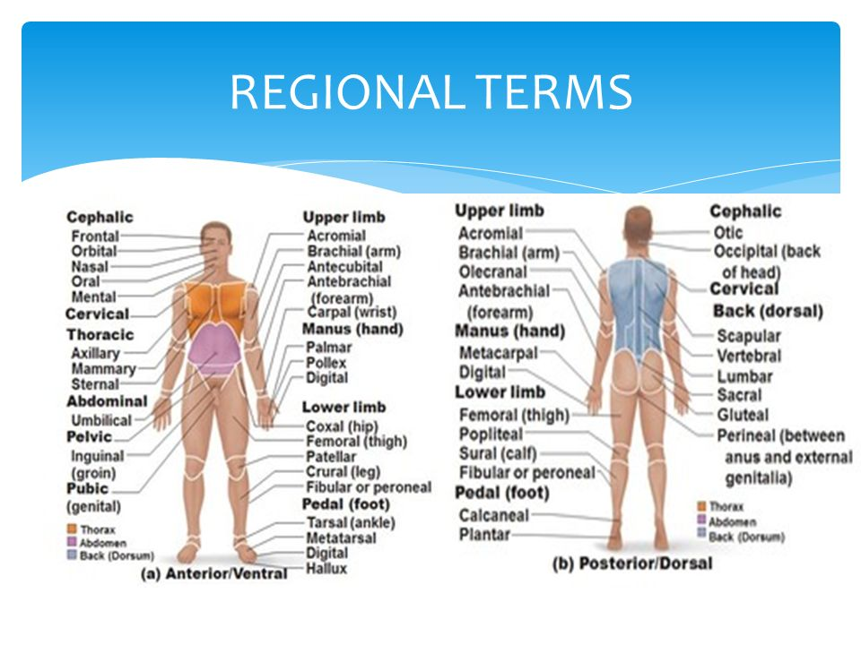 Anatomy regional terms