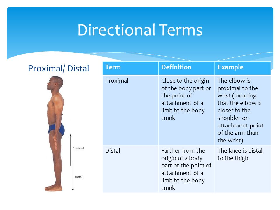 Distal anatomy definition