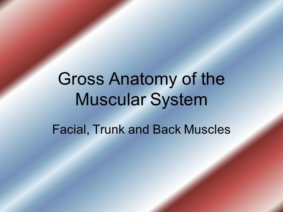 Gross anatomy of the muscular system exercise 15