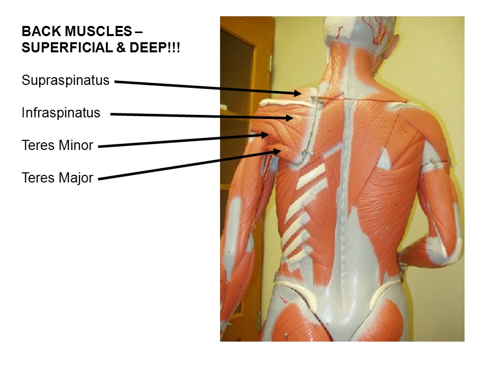 Gross Anatomy Of The Muscular System Custom Paper Academic Writing