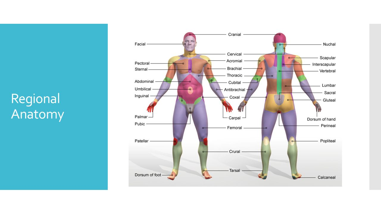 Anatomy regional terms 2599515 - follow4more.info