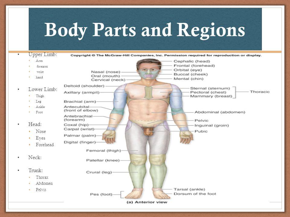 Gemütlich Upper Limb Anatomy Videos Bilder - Menschliche Anatomie ...