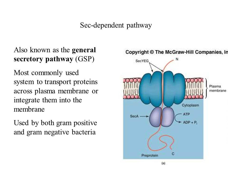 Sec-dependent pathway