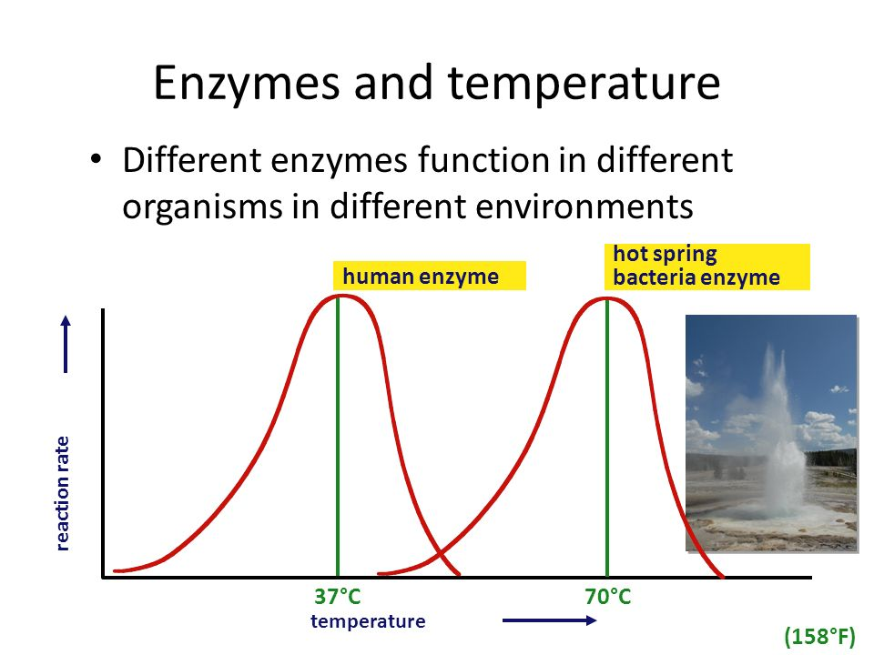 ap biology enzyme Ap biology syllabus ~ 2018-2019 instructor's information  for the biology college board advanced placement  enzyme activity ap biology.