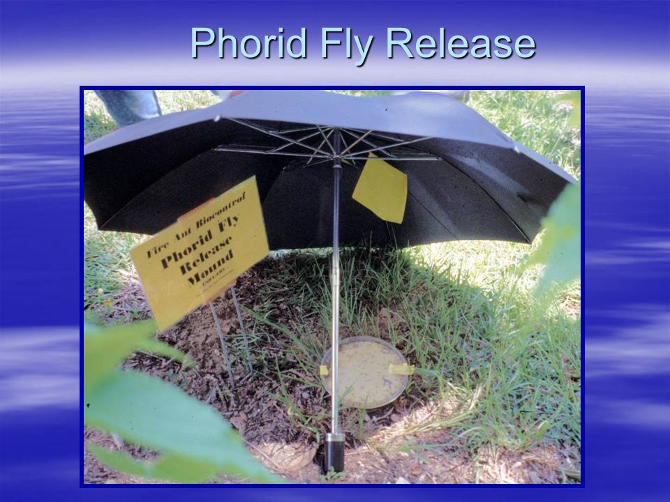 Phorid Fly Release