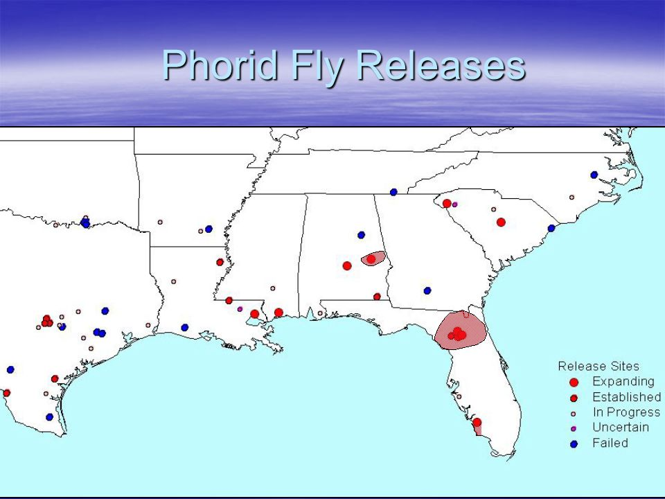 Phorid Fly Releases