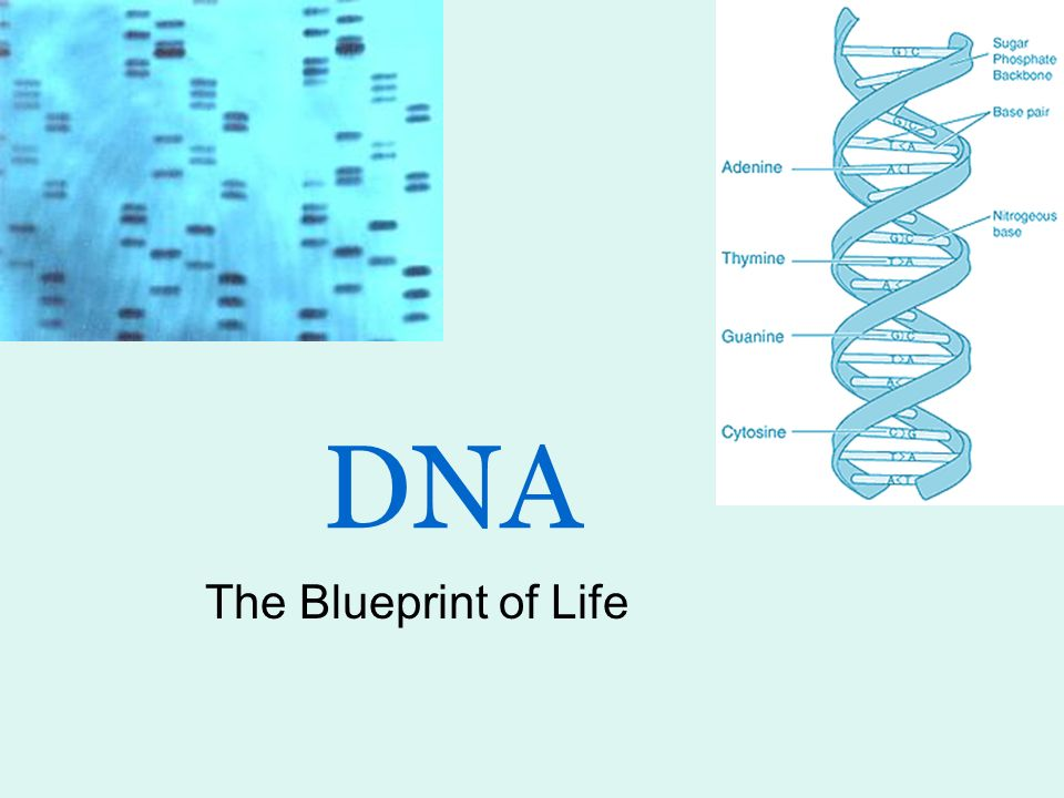 Dna the blueprint of life ppt video online download 1 dna the blueprint of life malvernweather Choice Image
