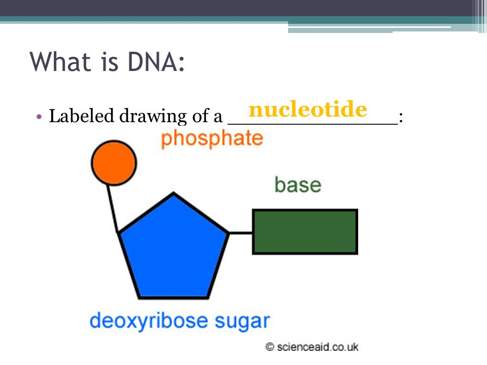 dna structure ppt download