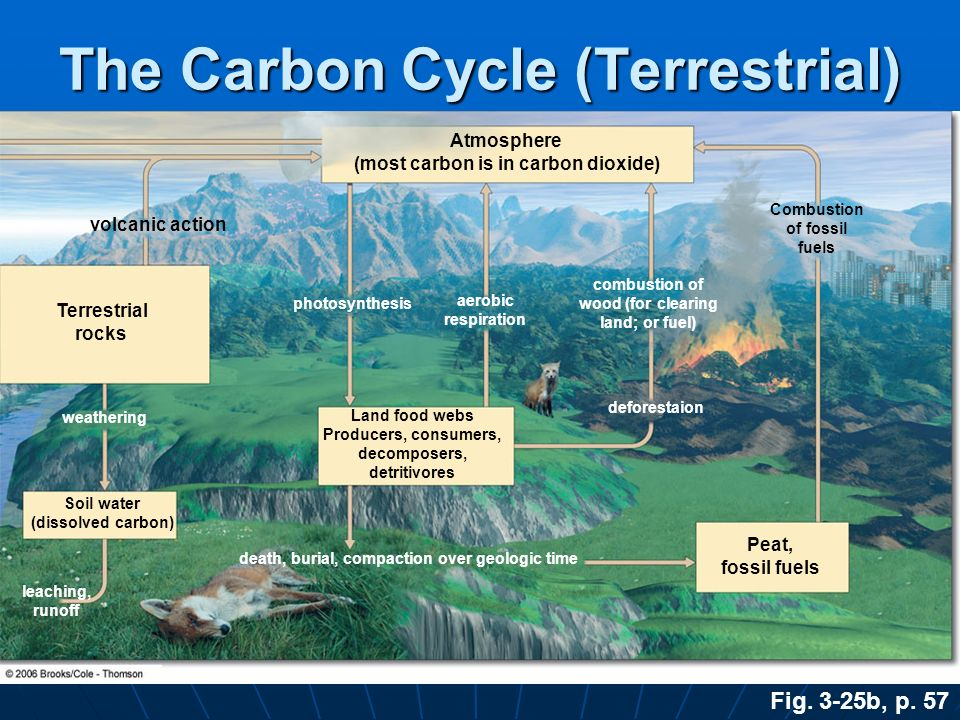 The Carbon Cycle (Terrestrial)