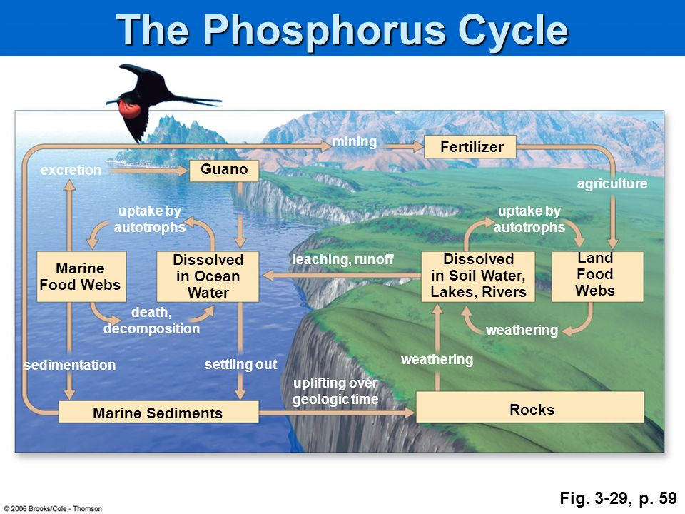 The Phosphorus Cycle Fig. 3-29, p. 59 Fertilizer Guano Land Dissolved