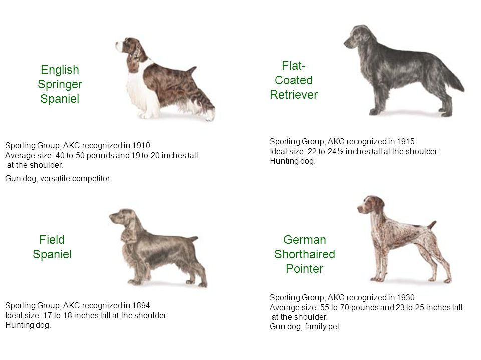 Vaak American Kennel Club SPORTING DOG GROUP. - ppt download ZE08